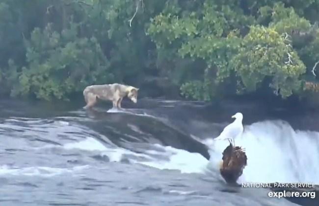 Gray Wolf on Live Bear Cam Brooks Falls Katmai National Park Alaska