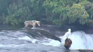 A Hungry Wolf Showed Up On The Live Bear Cam In Alaska And Has Been Crushing Salmon Ever Since