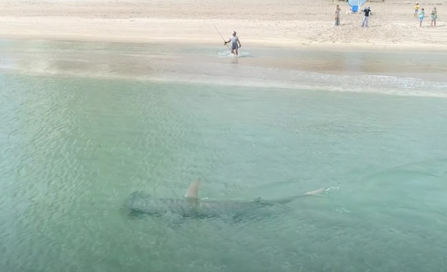 Footage Of A Massive Hammerhead Shark Hunting Blacktip Sharks Just Feet Off The Beach