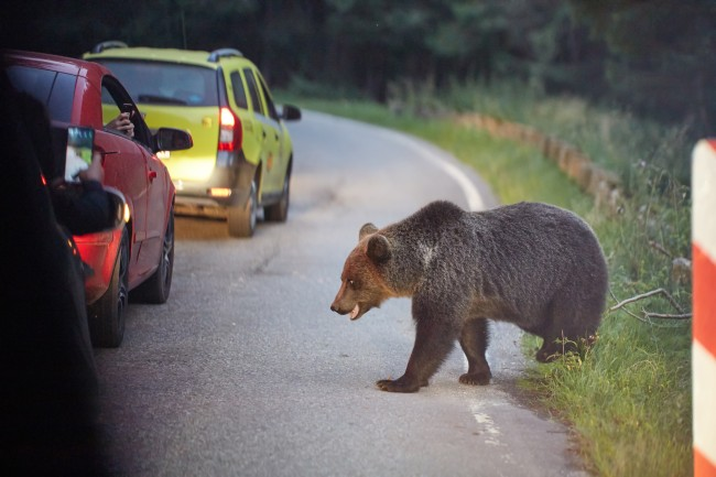 Brown bear in the road