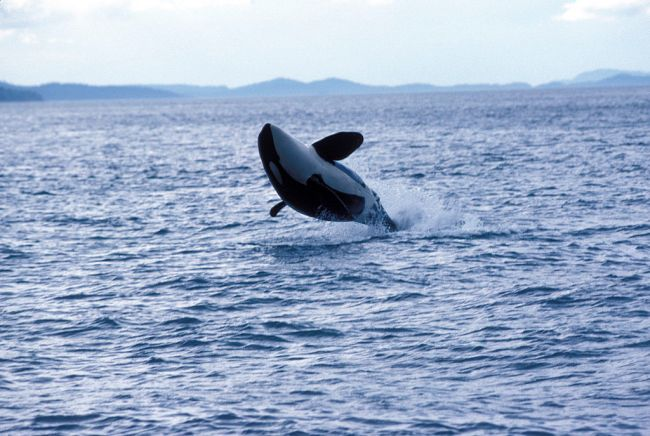 Reports of killer whales attacking boats in the Straits of Gibraltar have left sailors and scientists confused as why orcas would behave like this,