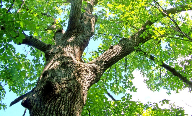 Guy Trapped Under Giant Oak Tree Survived On Insects And Rainwater