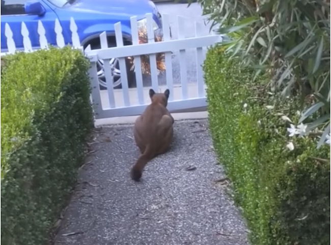 Guy Catches Massive Mountain Lion In His Yard Stalking Neighborhood Kids – 'I Thought It Was Somebody's Dog'