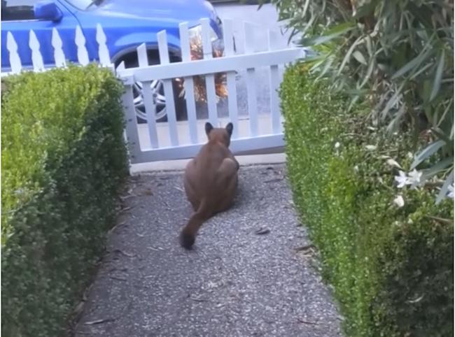 Mountain Lion Stalks California Neighborhood