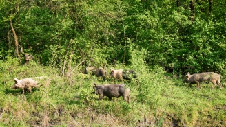 Officials Worried About Exploding Population Of Violent 'Super Pigs' Carrying An Absurd Number Of Diseases