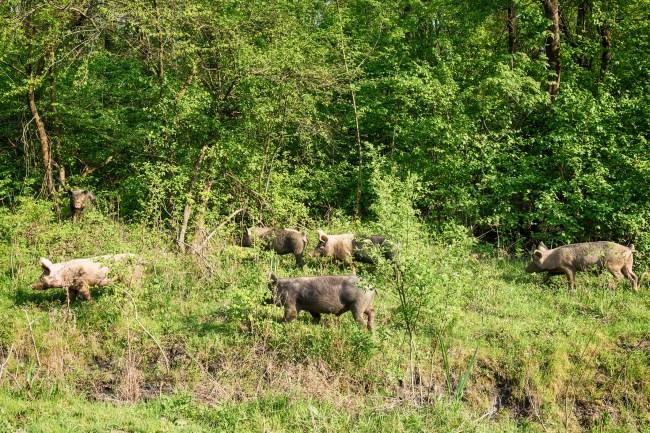 feral pigs hogs