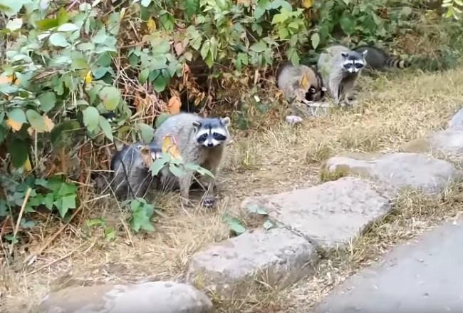 raccoons in park San Francisco