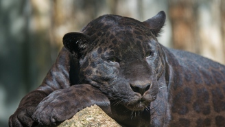 Florida Man Pays For 'Full-Contact Experience' With Rare Black Leopard – Gets Mauled Immediately