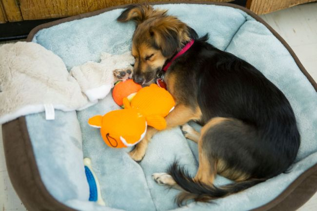 why dogs scratch their beds