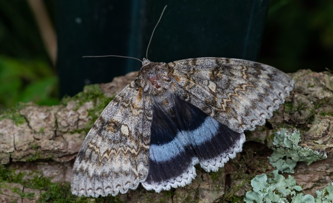 Giant Butterfly The Size Of A Bird Spotted In The Chernobyl Exclusion Zone