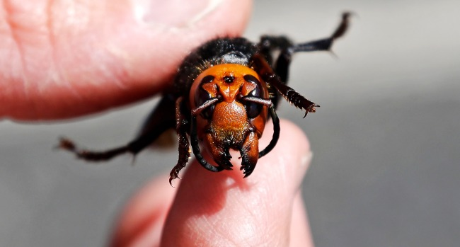 Washington State Scientists Lost ANOTHER Giant Asian Murder Hornet