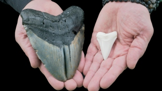 Megalodon Sharks Might've Gotten So Big Because They Were Cannibals In The Womb And  Savagely Ate Their Siblings