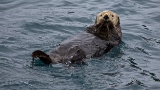 Otters Caught On Camera Eating The Livers, Hearts, And Private Parts Of Sharks Believed To Be Feasted On By Killer Whales