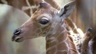 Memphis' Baby Giraffe Is Named After The City's Most Explosive Dunker, Reaches Well Above The Rim Like Ja Morant
