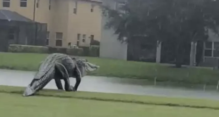 Seeing This Colossal Alligator On A Florida Golf Course Is Like A Trip To Jurassic Park
