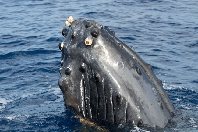 Here's A Massive Humpback Whale Nearly Swallowing Two Kayakers Like That One That Gobbled Up Pinocchio