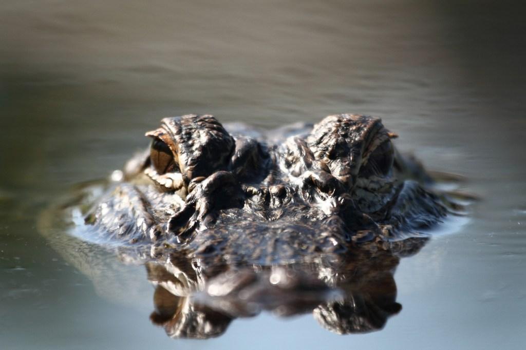 alligator chases fisherman in florida