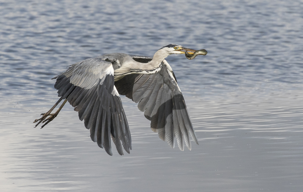 Nature photos of the week: Eel bursts from heron's stomach, colossal gator roams