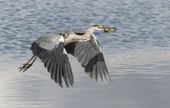 Snake eel bursts out of stomach of heron in crazy nature photos.