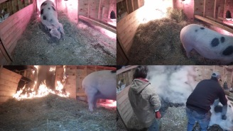 A Pregnant Pig Set A Barn On Fire During A Live Stream And Then A Random Viewer Saved Its Life