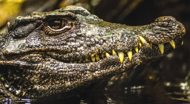 Golfer With Death Wish Grabs Ball Sitting On An Alligator In Florida