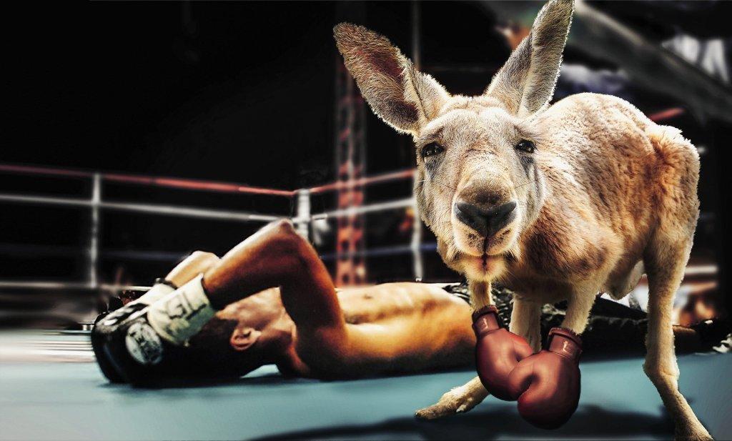 kangaroo boxing fight