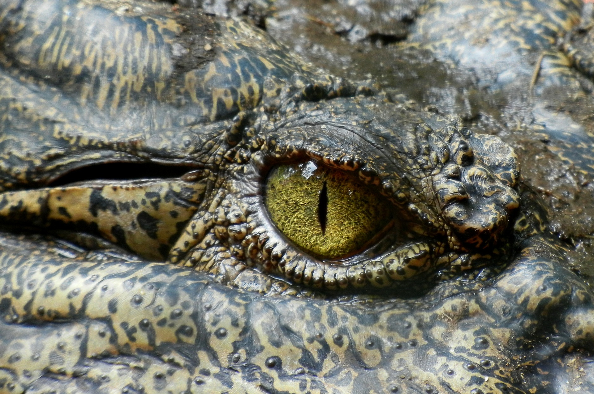 Massive Saltwater Crocodile Attacks A Guy's Truck And Shatters His Fog Lights