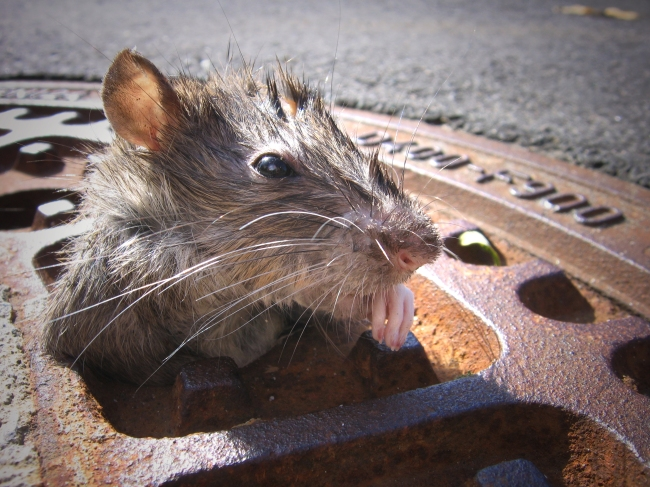 Rats Have Reportedly Overtaken An NYC Chipotle And Waged An All-Out War On Employees