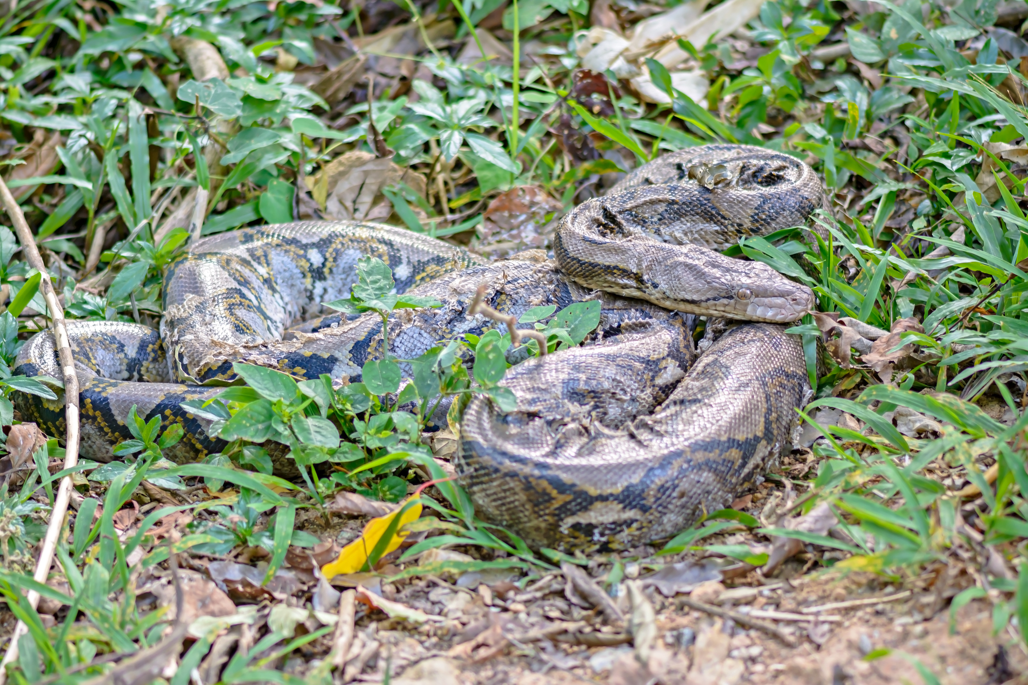 Python Attacks Puppy Until Aussie Woman Goes All 'Oh Hell Nah' And Saves The Day