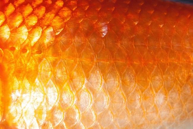 goldfish scales up close