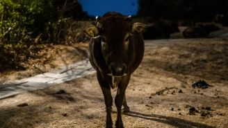 Rogue Colombian Cow Wreaks Havoc On A Hospital Waiting Room, Attacks Patients In A Wild Rampage