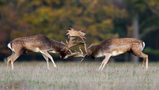 Here's A Deer Walking Around With Another Deer's Decapitated Head As A Trophy