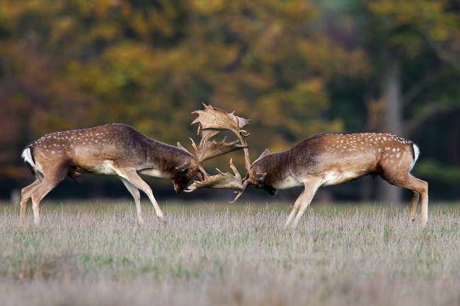 deer fighting
