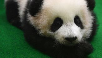 Baby Panda Xiao Qi Ji Tried His First Taste Of Applesauce And His Reaction Is Priceless
