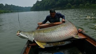 Arapaima, A Predatory Fish Native To The Amazon, Washes Up On Shore Of Florida River