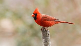 Half-Male, Half-Female Cardinal Spotted In Pennsylvania
