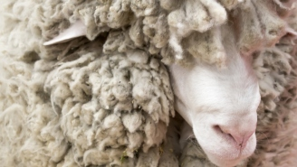 Australian Sheep Rescued With Over 75 Pounds Of Wool Undergoes Incredible Transformation