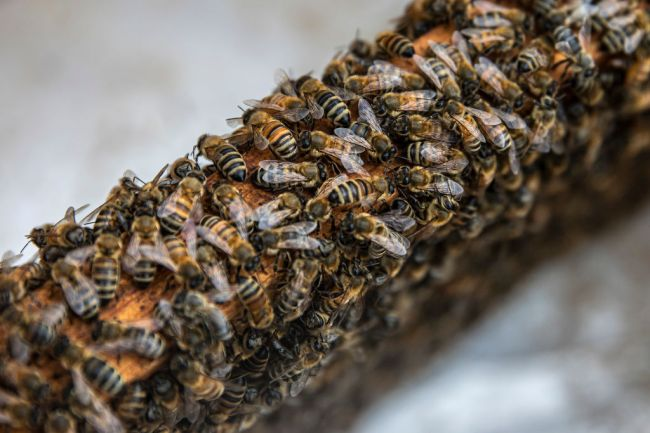 bees insects bumblebee