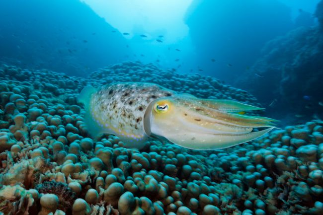 A Cephalopod Has Passed a Cognitive Test Designed For Human Children