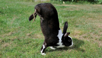 Scientists Think They've Figured Out Why These Strange Mutant Rabbits Walk Around Doing Handstands
