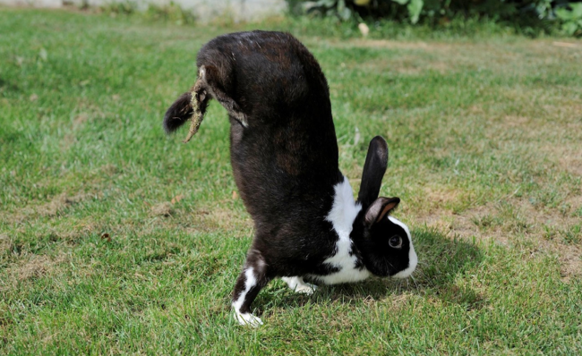 Los científicos han descubierto por qué los conejos mutantes caminan haciendo el pino