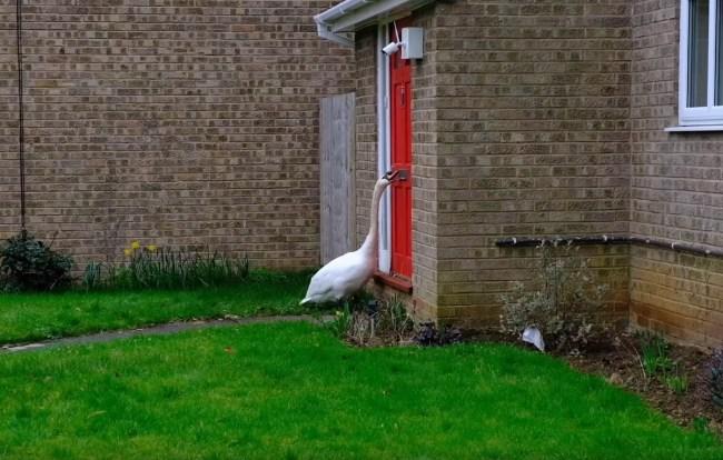 Swan Knocking On Doors UK