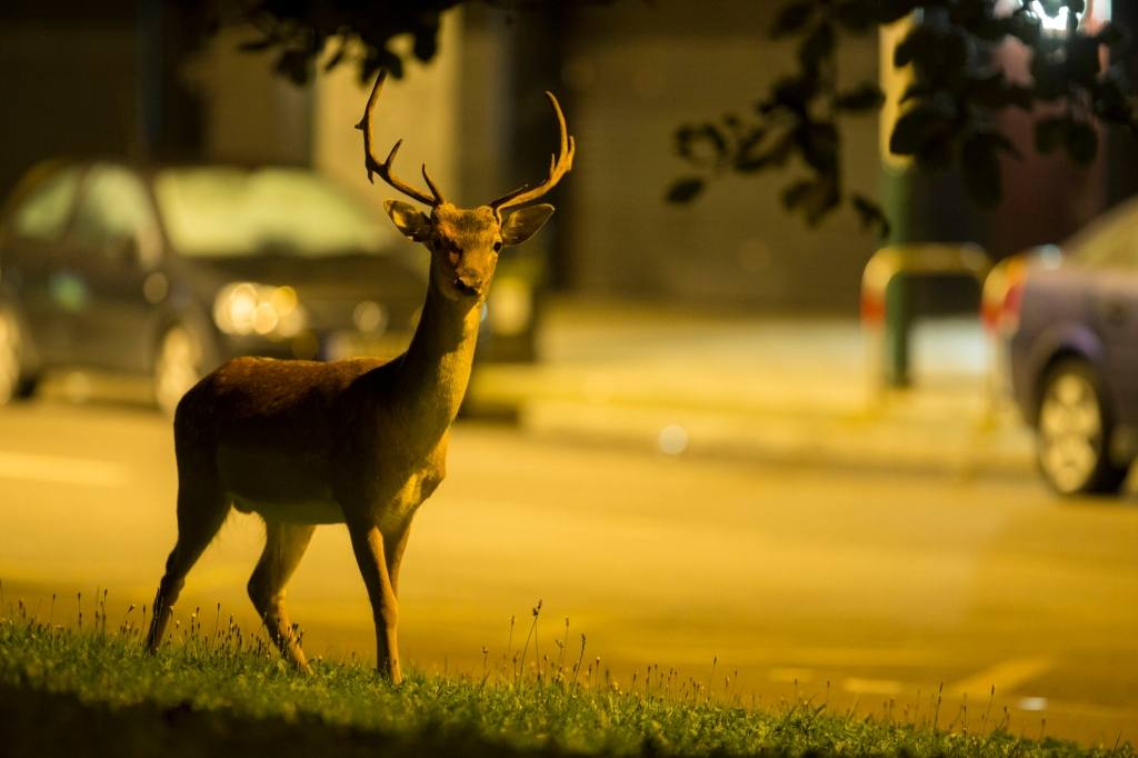 deer in city