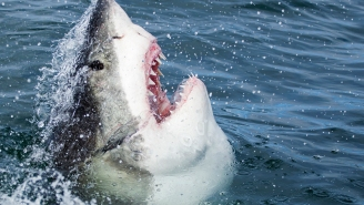 Here's A Massive Great White Shark Savagely Chewing On A Whale Carcass Off Of Hilton Head