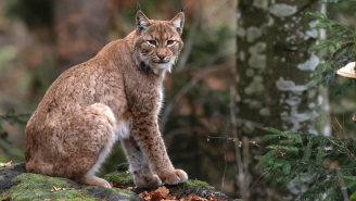 5-Year-Old With Ice Water In Her Veins Dominates Staring Contest With Bobcat In Her Backyard