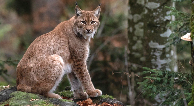 5-Year-Old Dominates Staring Contest With Bobcat In Her Backyard