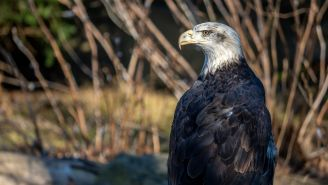 Bald Eagle Hunts Down A Seagull On A Golf Course In Intense Video