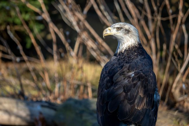 bald eagle hunts bird golf course