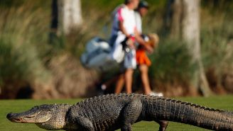 Somehow A Golfer Managed To Land Their Ball On The Back Of An Alligator