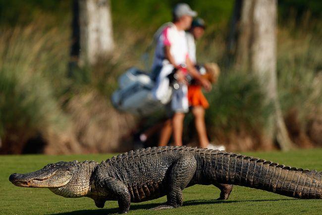 golfers ball lands on alligators back